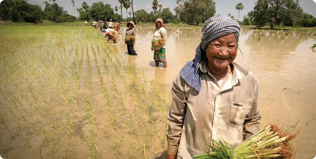 Women work hard in the rice paddies in Cambodia