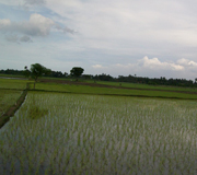 Rice field in South East Asia